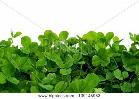 clover with white background blank place isolated on white