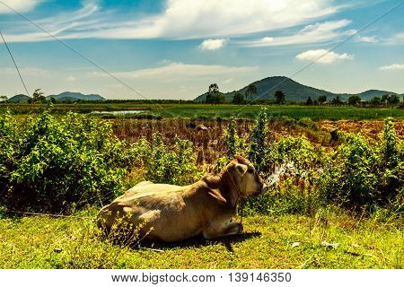 A cow resting in the idyllic green Vietnamese countryside