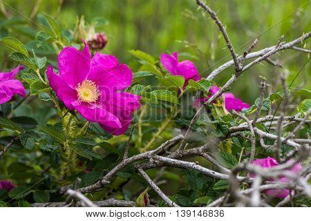 Wild Dog Rose blossoms Rosa canina on the coast