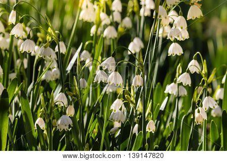 closeup of summer snowflake flowers in bloom