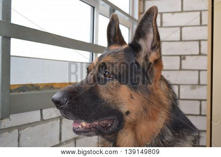 Big German Shepherd Dog Is Waiting Something