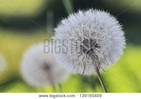 Ripe dandelions in the field of wild flowers (selective focus).