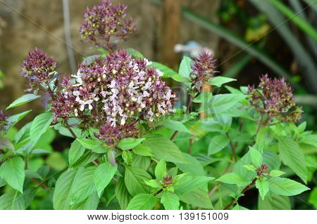 sweet basil (Ocimum basilicum Linn) tree focus on flowers