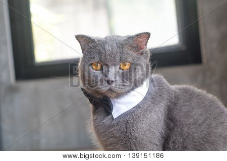 Cat With Cute Bow Tie Or Collar,british Short Hair Cat