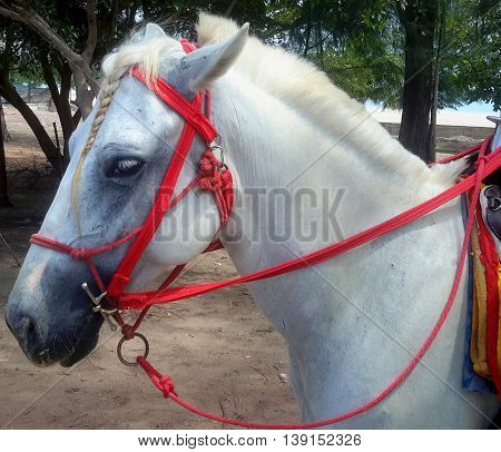 head and neck of white horse with braided forelock, roached mane, red rope halter under red nylon bridle, tom thumb bit, reins looped around saddle horn, rental horse on the beach, Songkhla, Thailand