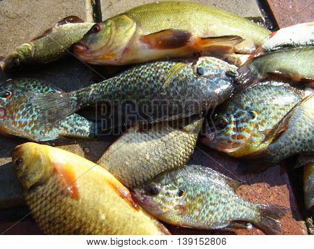river fish of different species caught on the fishing