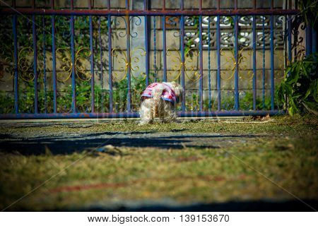 shih tzu dog pooping on the grass