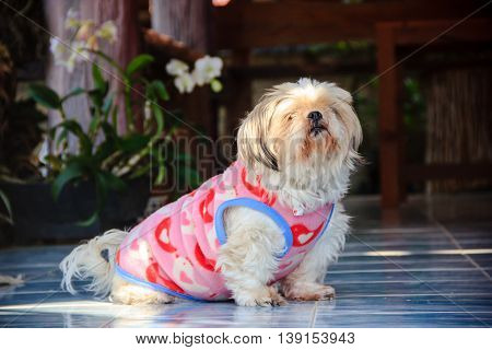 Shih Tzu dog with a pink Vest