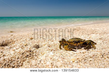 Crab on the sandy beach against the backdrop of the turquoise sea