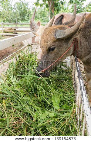 Close Up Of Water Buffalo Eating Hay In The Stable