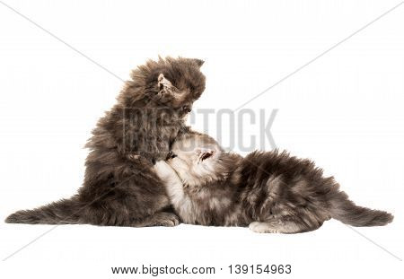 fluffy little kittens played on a white background