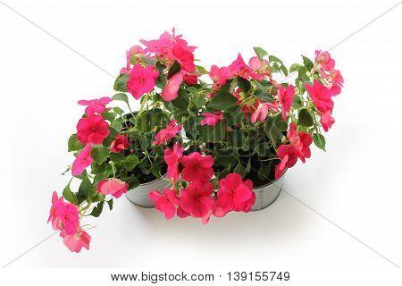Pink Impatiens balsamina in two metallic flowerpot on white background.