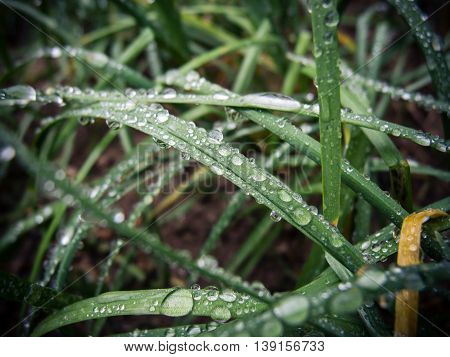 Dew drops on spring grass. spring background