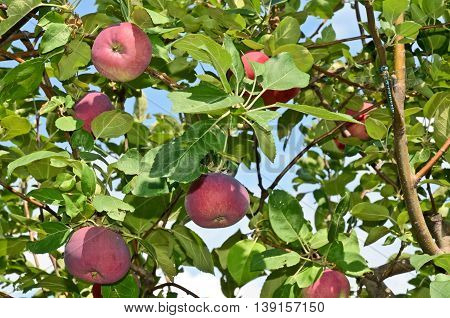 Red apples and dragonfly in an orchard in central Europe