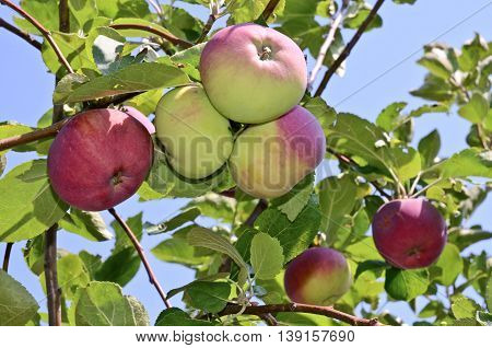 Apples in an orchard in central Europe
