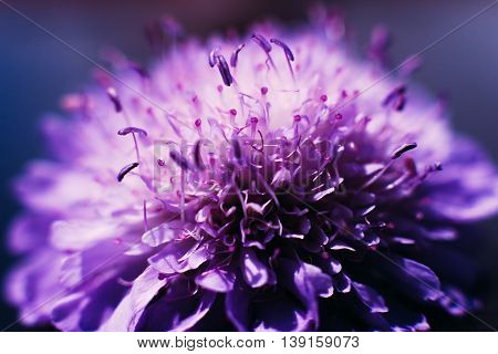 Profile of blooming purple aster background. Close-up of violet beautiful flower
