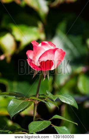 Beautiful Nostalgie pink rose in the garden