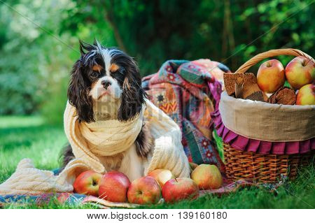 funny cavalier king charles spaniel dog relaxing with apples in autumn garden fall harvest