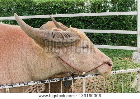 Close Up Of Albino Buffalo (white Pink Buffalo)