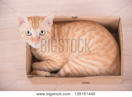 yellow striped cat sleep in brown box eye look stare