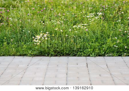 wild green lawn with white flowers of the blossoming camomile and a blank space on the sidewalk for a background