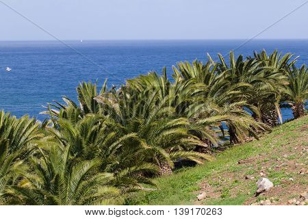 Landscape Canary palm tree, Phoenix canariensis. Stock date palm photo