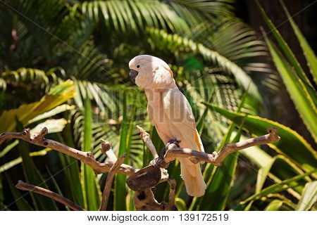Pink parrot is sitting on a branch