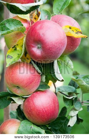 Part of apple tree with ripe fruits