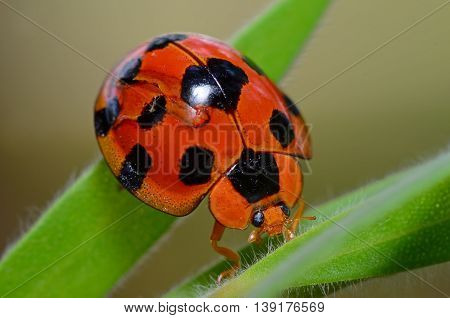Ladybug on green leaf insect Macro close-up