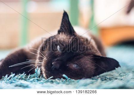 Cat with blue eyes. Portrait. Cute pet.