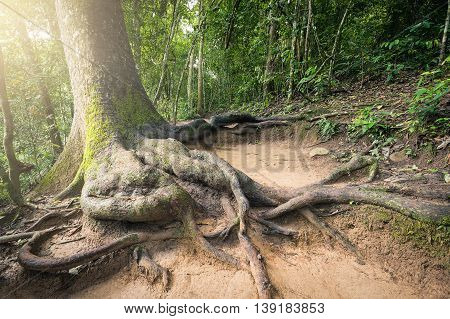 Trunk and root of old big tree growing on sloping land inside tropical forest. Having soft yellow bright light from the left corner.