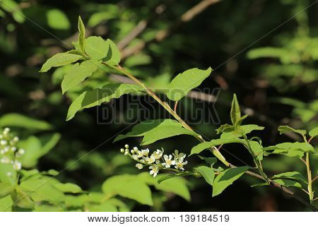 Twig And Blossoms Of The Bird Cherry (prunus Padus)
