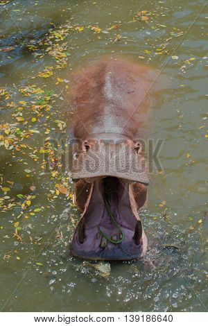 Big hippopotamus in water in the zoo
