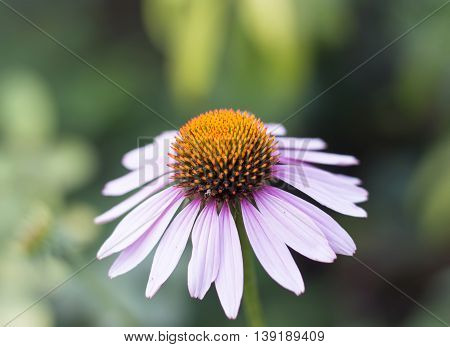 Echinacea petal, herba on a white background