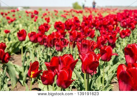 Tulip field. Field with red tulips. Group of red tulips in the park. Spring landscape.