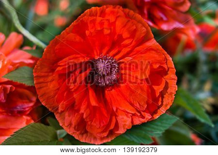 Red poppy on green background. Poppy flowers Close up poppy head. Red poppy flowers field.