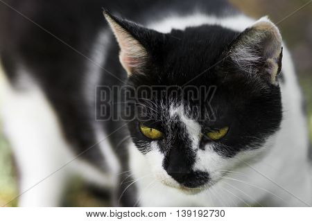 Macro photo about a black white cat with yellow eyes.