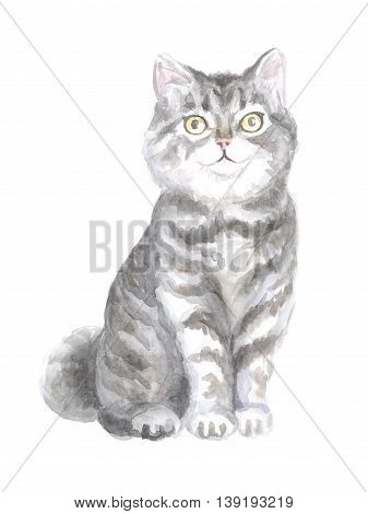 Scottish Straight cat. Image of a thoroughbred cat. Watercolor painting.