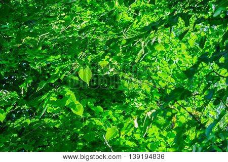 Bright light streaming through the green linden leaves