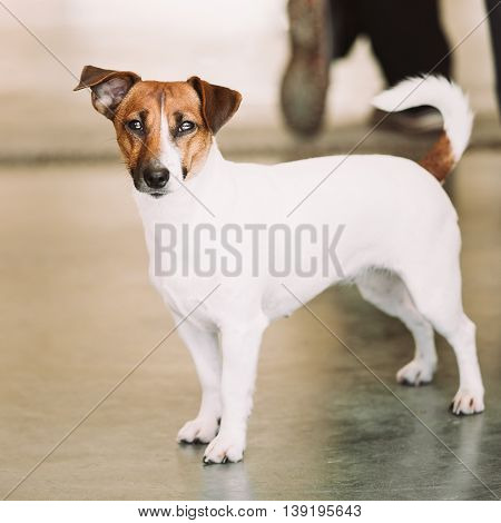 White Dog Jack Russell Terrier. The Jack Russell Terrier Is A Small Terrier That Has Its Origins In Fox Hunting.