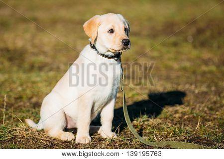 Beautiful White Dog Labrador Puppy Whelp Outdoor