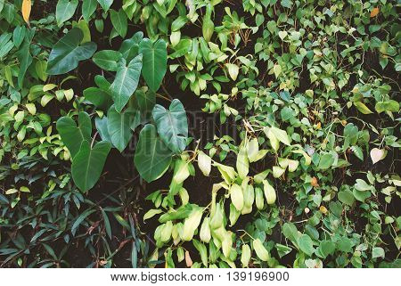 Plant wall, natural green bush leafs background.