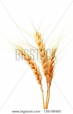 Wheat ears isolated on a white background closeup