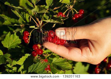 Hand of women picking redcurrants in garden
