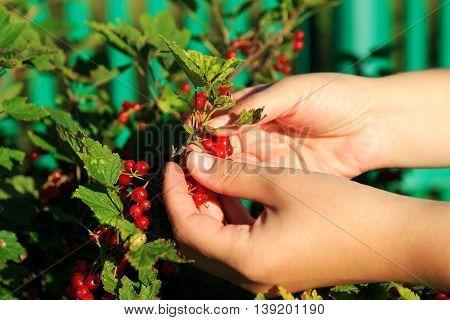 Hands of women picking redcurrants in garden