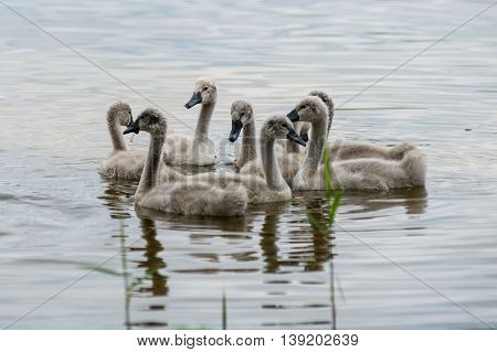 Swan And Cygnets First Time In The Water