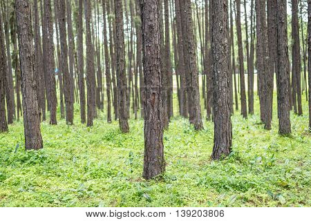 Pine Tree Forest.