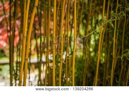Bamboo stems and green leaves. Nature background.