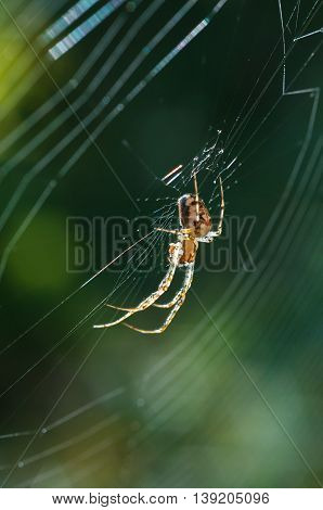 Spider on web on a green background