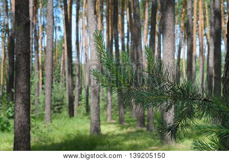Green pine branch in the summer  forest